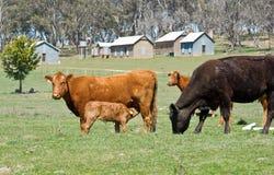 vacas da exploração agrícola no campo fotografia de stock royalty free