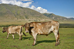 Vacas da família Foto de Stock Royalty Free