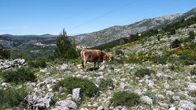 Vacas da montanha Fotos de Stock