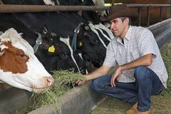 Vacas de alimentação do fazendeiro Fotografia de Stock Royalty Free