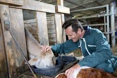 Vacas de alimentação do fazendeiro alegre Fotos de Stock