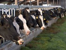 Vacas de alimentação no estábulo