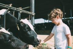 Vacas de alimentación del niño feliz foto de archivo