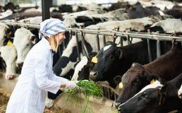 Vacas de alimentación de la mujer joven con la hierba en el establo Fotografía de archivo libre de regalías