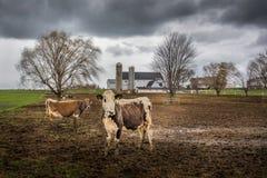 Vacas de Amish imagens de stock royalty free