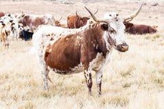 Vacas de Angus imagenes de archivo