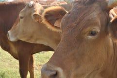 Vacas de Brown imagen de archivo libre de regalías