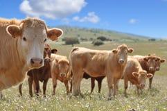 Vacas de Brown en un campo Imágenes de archivo libres de regalías