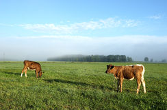 Vacas de Brown no campo Imagem de Stock Royalty Free