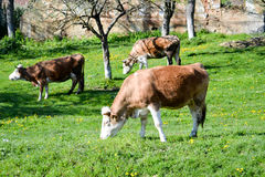Vacas de Brown no campo Foto de Stock Royalty Free