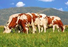 Vacas de Brown no campo de grama imagem de stock royalty free