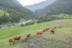 Vacas de Brown no prado da montanha perto dos vars nos cumes de Haute Provence imagem de stock