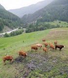 Vacas de Brown no prado da montanha perto dos vars nos cumes de Haute Provence fotografia de stock