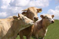 Vacas de Brown que levantam para a câmera Imagem de Stock Royalty Free
