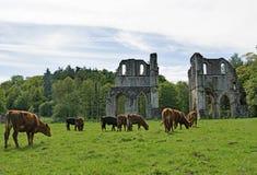 Vacas de Brown que se acercan a la abadía de Roche Imágenes de archivo libres de regalías