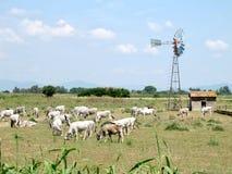 Vacas de Chianina no campo de tuscan Imagem de Stock