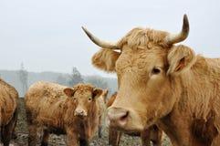 Vacas de cuernos foto de archivo