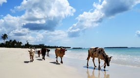 Vacas de Dar es Salaam fotografia de stock royalty free