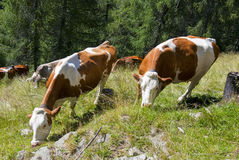 Vacas de Duch nos cumes Foto de Stock Royalty Free