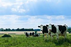 Vacas de Freisian imagem de stock royalty free