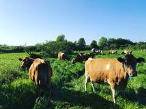 Vacas de Guernesey imagenes de archivo