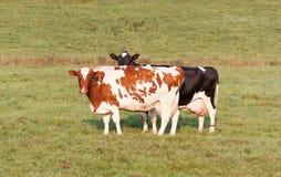 Vacas de Holstein Fotos de archivo libres de regalías