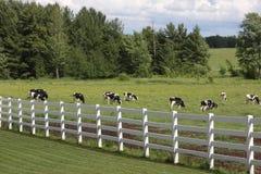 Vacas de Holstein Fotografia de Stock Royalty Free