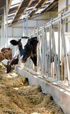 Vacas de Holstein en el establo Fotografía de archivo
