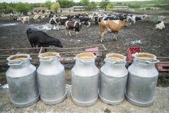 Vacas de Holstein na exploração agrícola Imagens de Stock