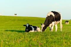Vacas de Holstein que pastam Fotografia de Stock