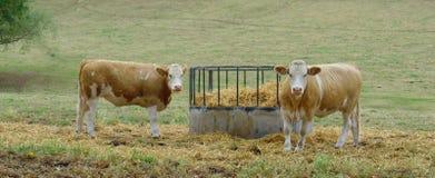 Vacas de Jersey de pie en campo Fotos de archivo libres de regalías
