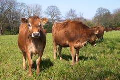 Vacas de Jersey en una hierba verde Fotos de archivo libres de regalías