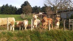 Vacas de Killee imagen de archivo
