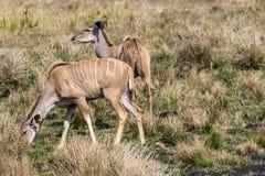 Vacas de Kudu imagem de stock royalty free