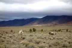 Vacas de la alta montaña en el San Luis Valley Fotos de archivo