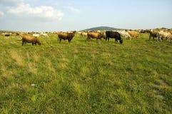 Vacas de la granja Foto de archivo libre de regalías