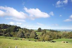 Vacas de la granja lechera Fotografía de archivo libre de regalías