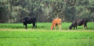 Vacas de la granja que pastan Imagenes de archivo