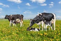 Vacas de la madre con los becerros de consumición en prado holandés fotos de archivo libres de regalías