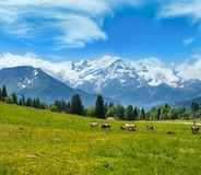 Vacas de la manada en la opini?n del macizo del claro y de la monta?a de Mont Blanc de las cercan?as de Plaine Joux imagenes de archivo