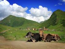 Vacas de la montaña Fotografía de archivo