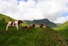 Vacas de la montaña de la lechería imágenes de archivo libres de regalías