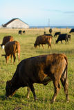 Vacas de la opinión de océano Imagen de archivo
