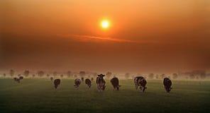 Vacas de la tarde en Holanda foto de archivo libre de regalías