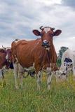 Vacas de leche imagen de archivo libre de regalías