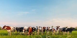 Vacas de leche holandesas curiosas en una fila Imágenes de archivo libres de regalías