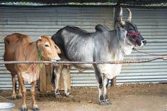 Vacas de leche indias Fotos de archivo libres de regalías