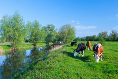 Vacas de leche que pastan en una pradera del campo de hierba verde debajo de SK azul fotografía de archivo