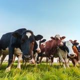 Vacas de leite holandesas curiosas Fotografia de Stock Royalty Free