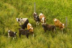 Vacas de leiteria Fotografia de Stock